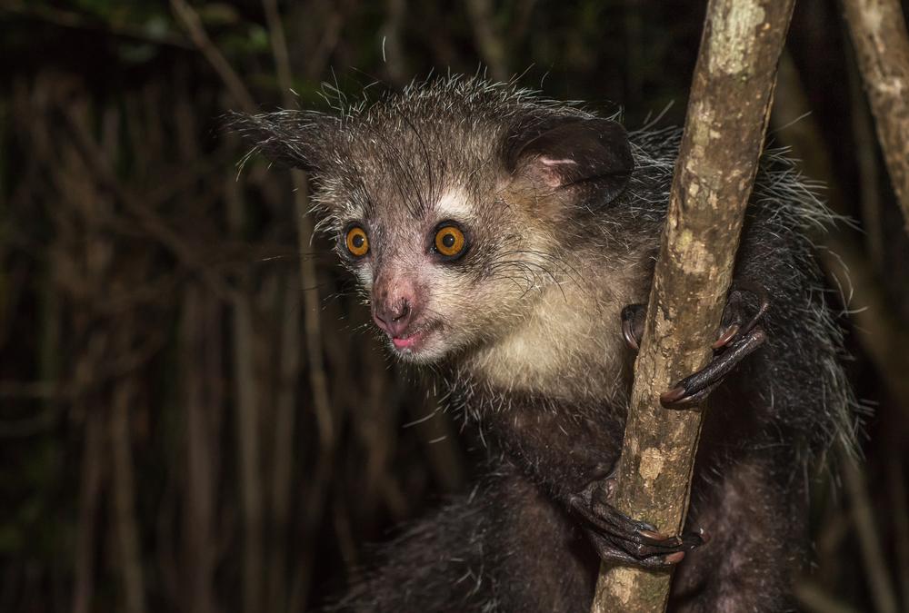 Lemur aye-aye